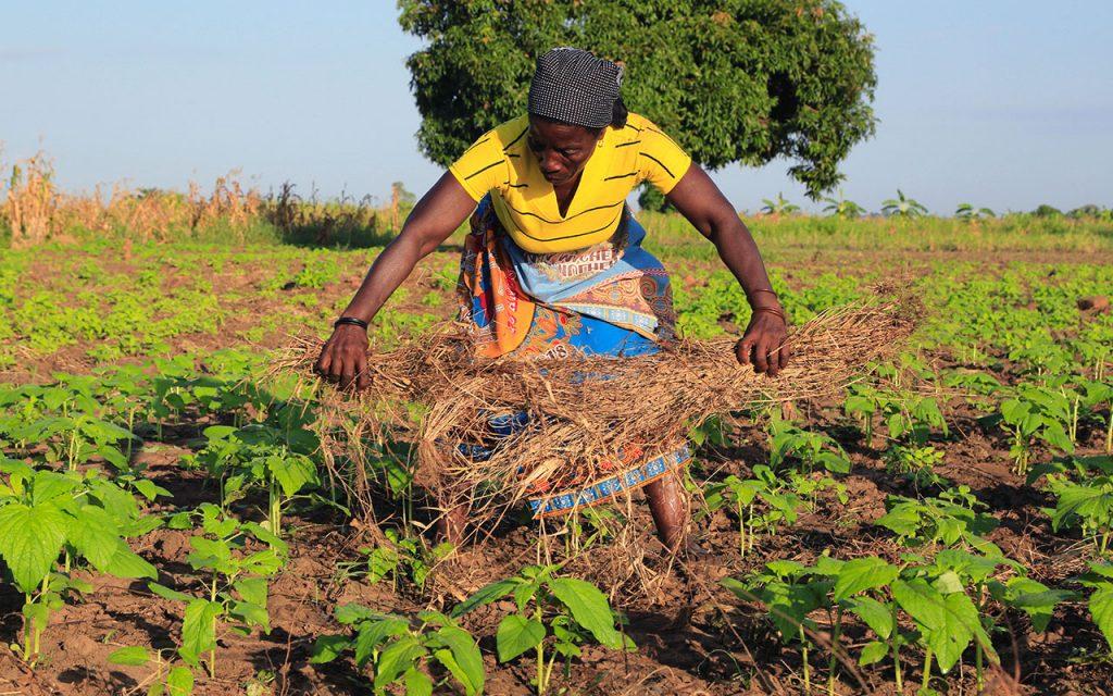 Em Nampula Dos 2.549.486 hectares planificados Nampula conseguiu apenas lavrar 2.486.834